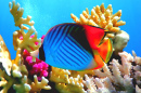Threadfin Butterflyfish, Red Sea, Egypt