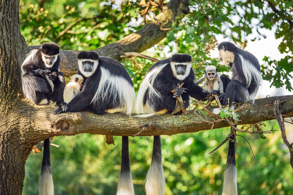 Mantled Guereza Monkeys Jigsaw Puzzle In Animals Puzzles