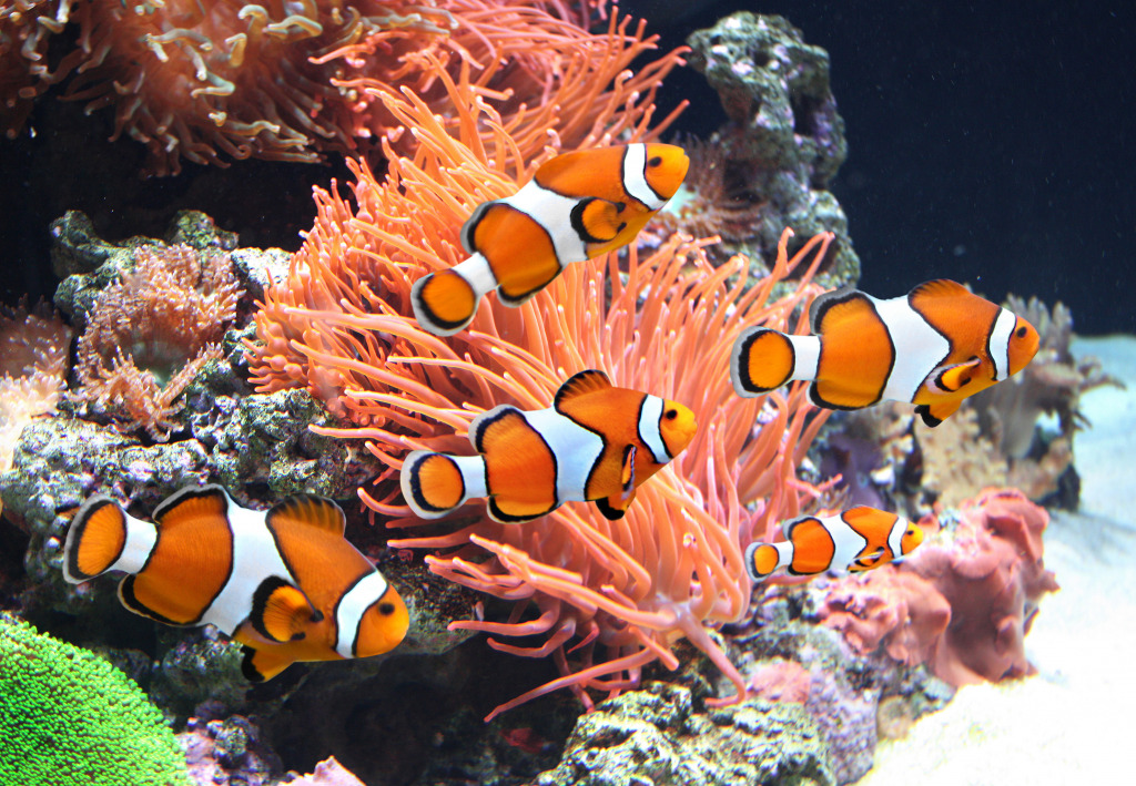 Sea Anemones and Clownfish jigsaw puzzle in Under the Sea ...