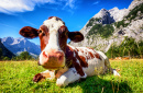 A Cow in the Austrian Mountains