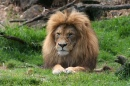 Mr Lion. Auckland Zoo, New Zealand