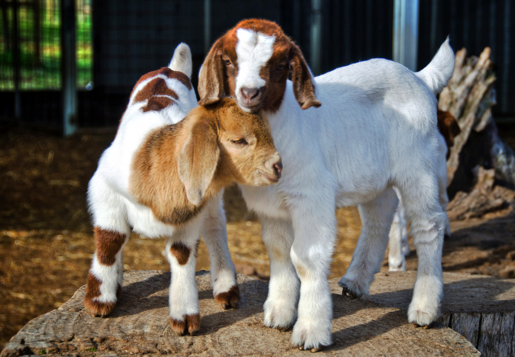 Baby Goats Jigsaw Puzzle In Animals Puzzles On