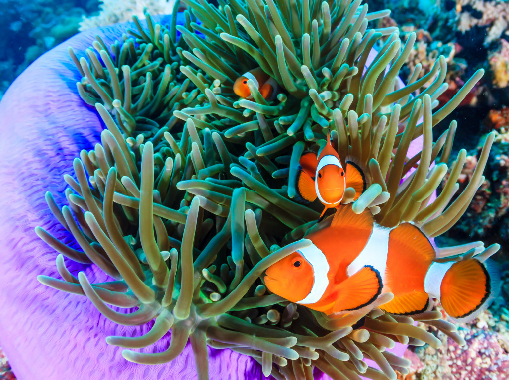 Pacific Clownfish jigsaw puzzle in Under the Sea puzzles ...