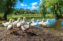 White Geese by a Pond