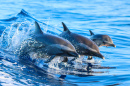 Spotted Dolphin Family
