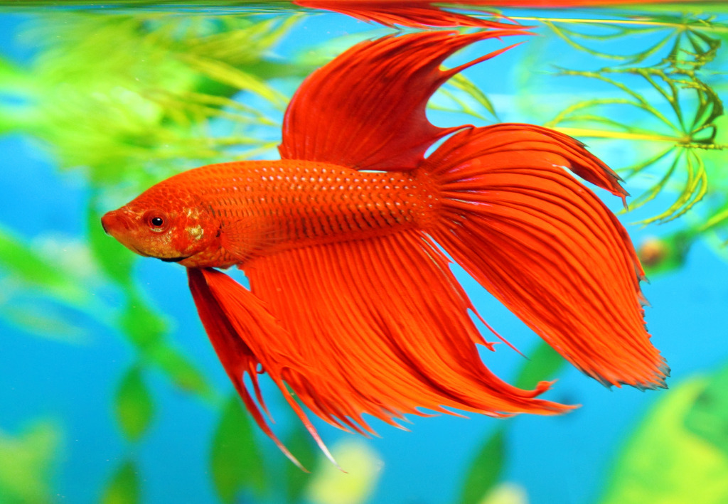 siamese fighting fish jigsaw puzzle in under the sea