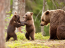 Eurasian Brown Bears