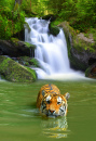 Siberian Tiger Taking a Bath