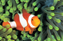 Clownfish in the Anemone