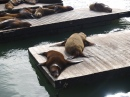 Adorable Sea Lions, San Francisco
