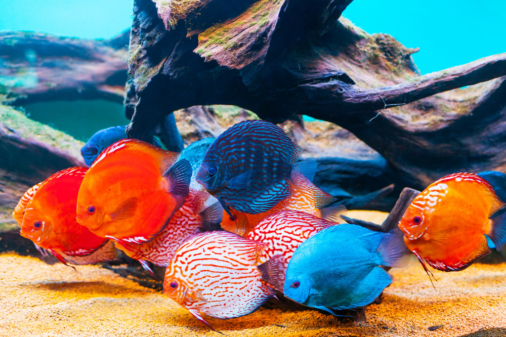 Colorful fish in the aquarium jigsaw puzzle in under the for Colorful freshwater aquarium fish