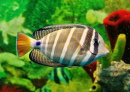 Striped Marine Fish