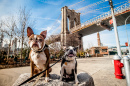 Dogs Sitting in front of the Brooklyn Bridge