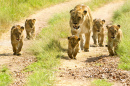 Lioness Walking Her Cubs