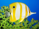 Butterflyfish and Green Coral
