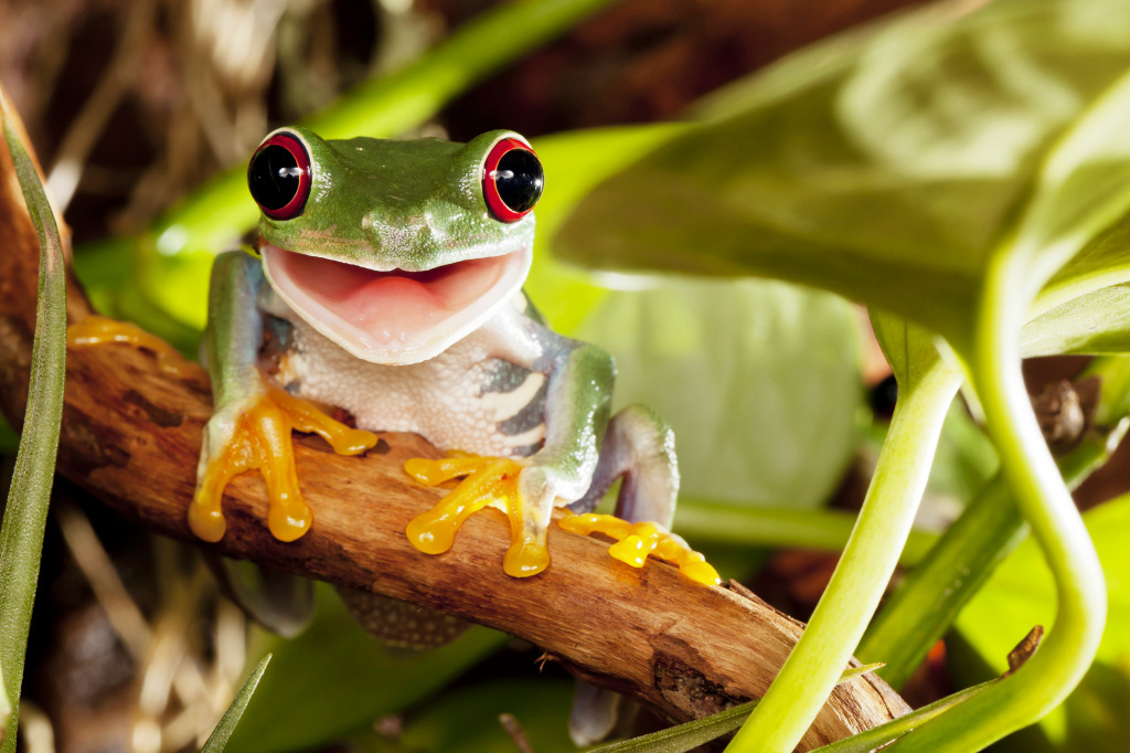 red eyed tree frog jigsaw puzzle in puzzle of the day puzzles on