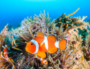 Colorful Clownfish