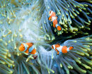 Three Clownfish