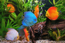 Discus in the Aquarium puzzle on TheJigsawPuzzles.com