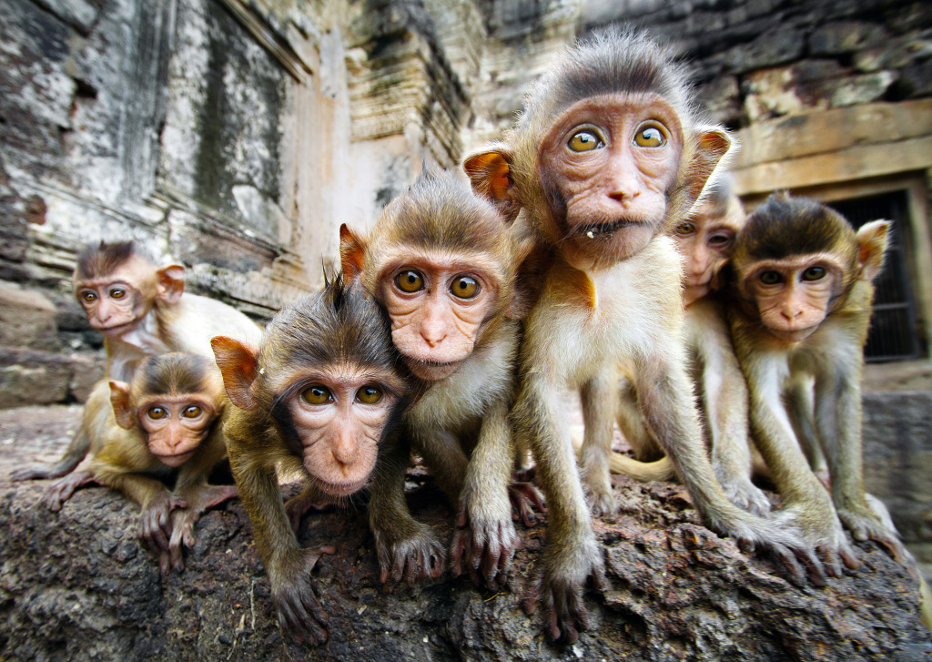 Curious Baby Monkeys Lopburi Thailand Jigsaw Puzzle In
