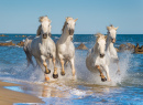 Herd of White Camargue Horses