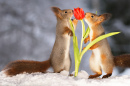 Red Squirrels, Red Tulip