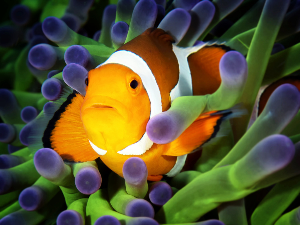 Clownfish on green anemone jigsaw puzzle in under the sea for Clown fish for sale