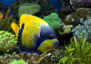 Angelfish in an Aquarium