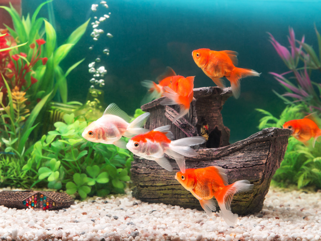 Goldfish in the aquarium jigsaw puzzle in under the sea for Fish out of water menu