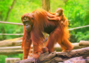 Young Orangutan on his Mother