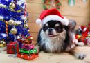 Chihuahua in a Christmas Costume