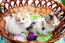 Three-Colored Kittens in the Basket