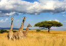 Giraffes in the National Park in Kenya