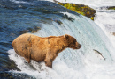 Alaskan Brown Bear, Katmai National Park
