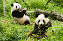 Pandas Having Lunch