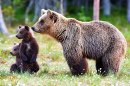 Brown Bear Cubs with their Mom
