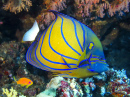 Blue Ring Angelfish