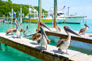 Brown Pelicans in Islamorada, Florida Keys