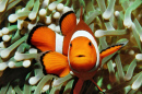 Clownfish in Puerto Galera, Philippines