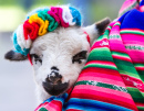 Baby Lamb in a Peruvian Blanket