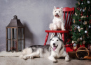 Siberian Husky and West Highland Terrier
