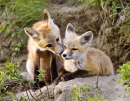 Young Kit Foxes, Saskatchewan, Canada