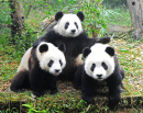 Three Giant Pandas