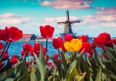 Tulips in the Dutch Village
