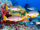 Underwater Landscape with Sweetlips