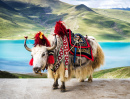 Decorated White Tibetan Yak