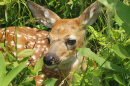 Virginia White-tail Fawn