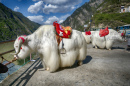 White Yaks in Szechuan, China