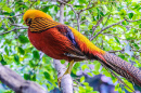 Golden Pheasant, Tenerife, Canary Islands