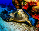 Hawksbill Turtle in Cozumel, Mexico